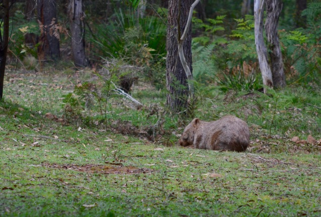 Wombat in early morning light. Returning to his burrow. (notice the sleepy eyes :) )