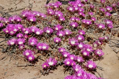 Wildflowers, Cape Arid, WA