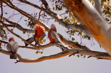 Galah chicks getting a feed
