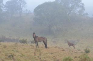 Brumbies (Wild Horses)