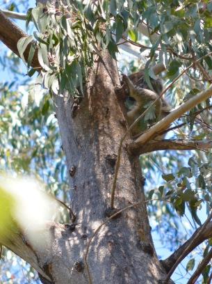 Please! No Pictures!!! The odd Koala in Tidbinbilla Nature Reserve.