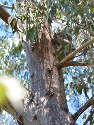 Please! No Pictures!!! The odd Koala in Tidbinbilla Nature Reserve.
